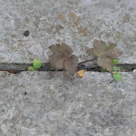 Japanische Purpur-Petersilie (Cryptotaenia japonica 'Purpurascens'