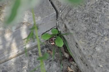 Vergissmeinnicht (Myosotis sylvatica)