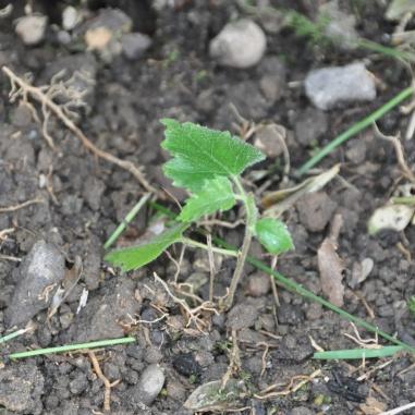 Birke (Betula hybride)