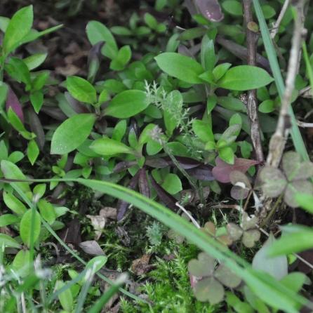 Dunkle Bart-Nelke (Dianthus barbatus 'Nigrescens')