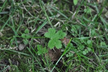 Brauner Storchschnabel (Geranium phaeum)