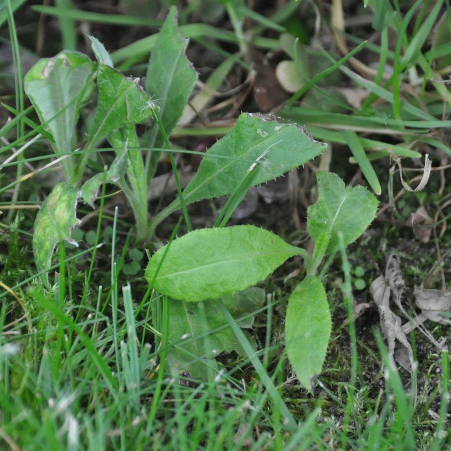 Kugeldistel (Echinops ritro)