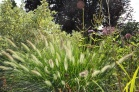 Pennisetum alopecuriodes