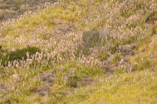 Pampasgräser in Kalifornien